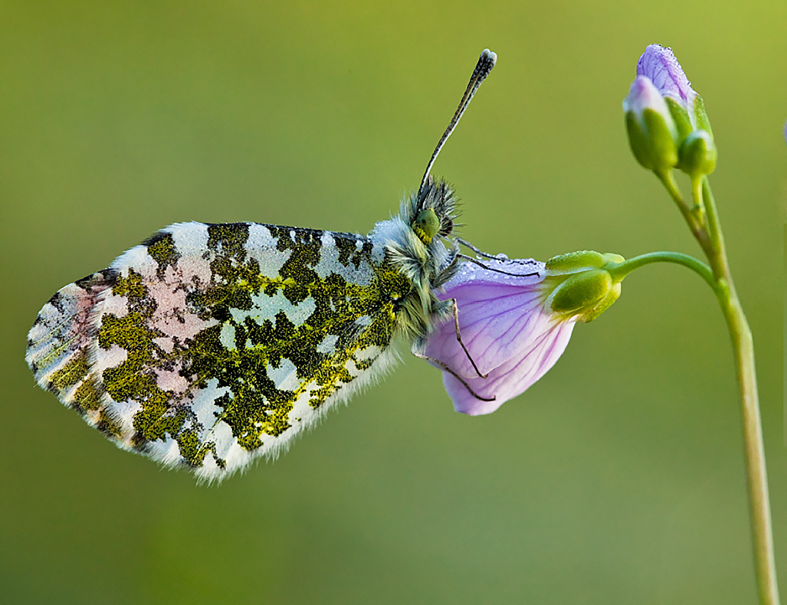 Orange Tip with morning dew.